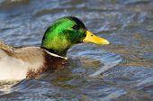 Profile Of A Mallard Duck Swimming In The River