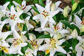 picture of easter lily  - A close up shot of Easter lilies outside in a garden during the spring season - JPG