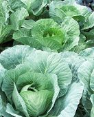 Fresh Cabbage Growing In The Field