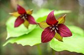 Two Red Trilliums
