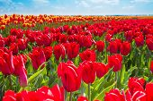 Close-up view of red tulips during sunny day