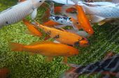 picture of koi  - Koi fishes crowding in the small pond  - JPG
