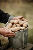 foto of potato-field  - Closeup of a bucket of potatoes in the hands of the farmer on the background of the garden  - JPG