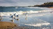 image of flock seagulls  - Flock of seagulls wading on a sandy beach coast of the Black Sea - JPG