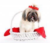 pic of dog breed shih-tzu  - Cute Shih Tzu in wicker basket isolated on white - JPG
