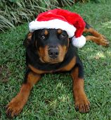 foto of santa claus hat  - christmas hat santa claus pure breed rottweiler   - JPG
