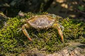 picture of blue crab  - Blue crab found on the Chickahominy river west of Williamsburg va - JPG