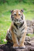 stock photo of tiger cub  - young amur tiger cub portrait in the zoo - JPG