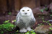 pic of snowy owl  - white snowy owl sitting on the ground - JPG