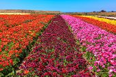 image of buttercup  - Magnificent kibbutz field with blossoming buttercups   - JPG