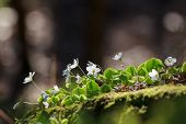 stock photo of sorrel  - Wood Sorrel or Common Wood Sorrel  - JPG