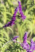 stock photo of purple sage  - Bumblebee flies over amethyst sage in the garden - JPG