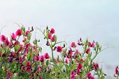 picture of sweetpea  - Sweet Pea flowers growing wild on a mountain side - JPG