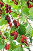 pic of mulberry  - Fresh mulberry on the branch, a berry fruit in nature ** Note: Visible grain at 100%, best at smaller sizes - JPG