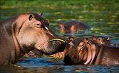 Hippopotamus In A Bog.