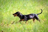 stock photo of dachshund dog  - Funny dachshund dog grass in a sunny day - JPG