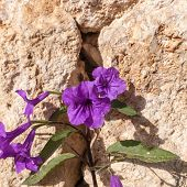 picture of petunia  - The Purple Petunias on stone background - JPG