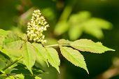 picture of elderberry  - Red elderberry  - JPG
