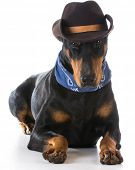 image of doberman pinscher  - country dog  - JPG