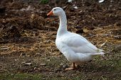 stock photo of canard  - Photos of poultry taken in the park of Madonie in - JPG
