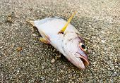 foto of polluted  - Dead fish on the beach - JPG