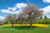 stock photo of rape-field  - Two pink blooming apple trees stand in a meadow in front of a yellow blooming rape field - JPG