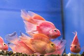 stock photo of freshwater fish  - Photo of aquarium fish parrot cichlid in freshwater  - JPG