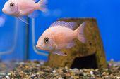 picture of freshwater fish  - Photo of aquarium fish aulonocara in freshwater - JPG