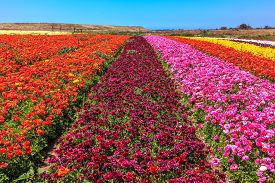 pic of buttercup  - Magnificent kibbutz field with blossoming buttercups   - JPG