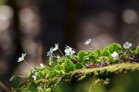 image of sorrel  - Wood Sorrel or Common Wood Sorrel  - JPG