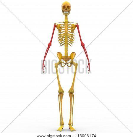 Human Skeleton Humerus, Radius, Ulna and Hand bones Poster ID:113006174