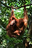 Baby Orangutan (pongo Pygmaeus) Play.