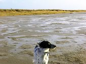 foto of english setter  - this beautiful english setter (blue belkin coat) is backgrounded by a warm danish beach landscape. the photo gives a sense of freedom and open land.  - JPG