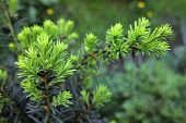 Yew Tree (taxus Cuspidata). Growing Branch Of Japanese Yew.