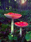 stock photo of witch-doctor  - couple of wonderful red mushrooms - flyagaric.