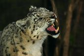stock photo of panthera uncia  - a portrait snow leopard uncia uncia panthera uncia a feline beast of prey - JPG