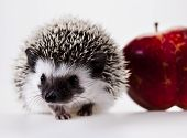 Hedgehog with an apple