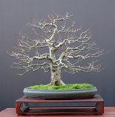 Linden Bonsai im winter