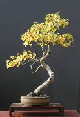 Birch Bonsai In Fall Color