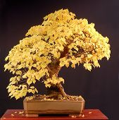Linden Bonsai In Fall Colors