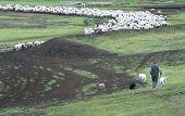 A Shepard And Sheep
