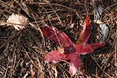 Red Japanese Maple Leaf