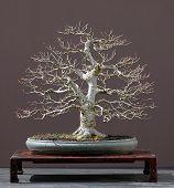 Linden baum bonsai