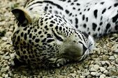 picture of panthera uncia  - lying and sleeping Snow Leopard Irbis  - JPG