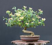 Honeysuckel Bonsai In Bloom