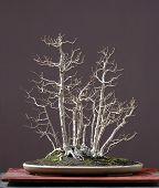 Field Elm Bonsai In Winter
