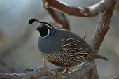 Quail Sitting On The Tree
