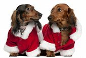 stock photo of christmas dog  - Dachshunds wearing Santa outfits 18 months and 3 years old in front of white background - JPG