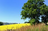Big oak on yellow field