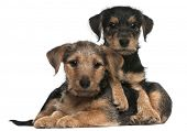 Mixed breed puppies, 8 weeks old, in front of white background